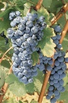 Morellino grapes