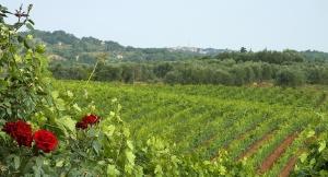 Morellino vineyards, with Scansano on the horizon