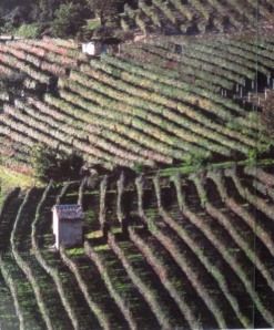 Barolo vineyard *