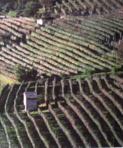 Barolo vineyard *