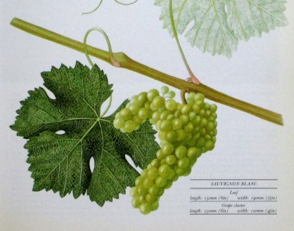 From Jancis Robinson's Vines, Grapes, and Wines