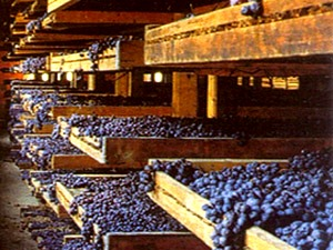 Grapes drying 2