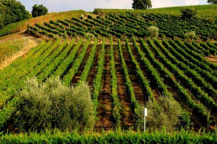 Some of Mastroberardino's Aglianico vineyards