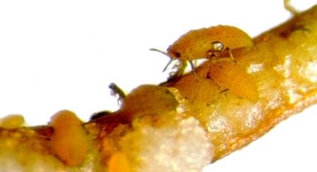 Phylloxera louse