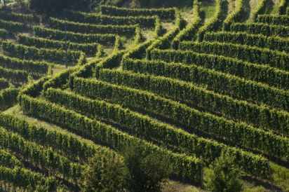 A Vietti Vineyard