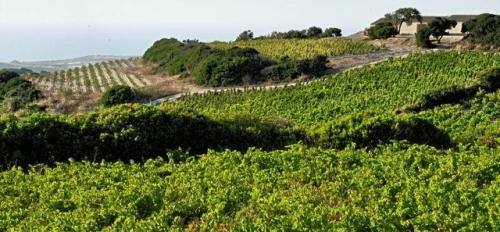 sardinian vineyard