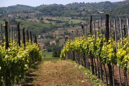 donnachiara-vineyard