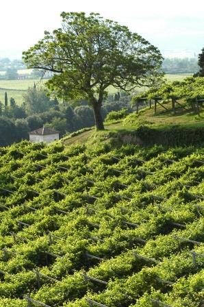 santa-sofia-vineyard
